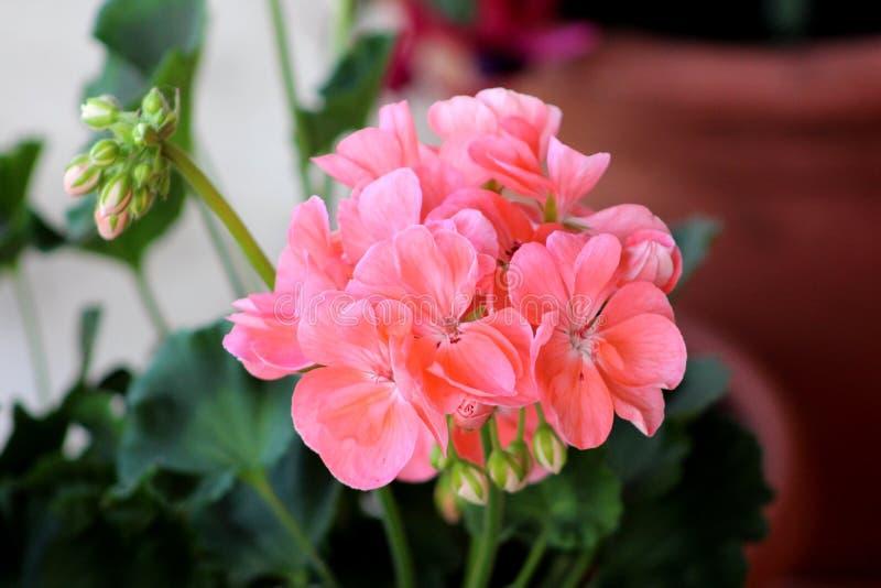 Fleurs de floraison de pélargonium de rose saumoné avec de petits bourgeon floraux photographie stock libre de droits