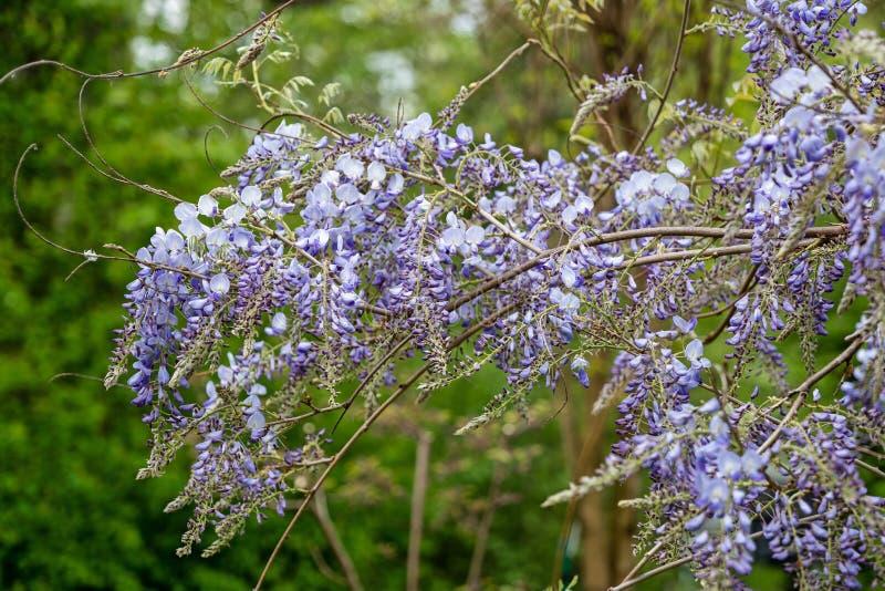 Fleurs de floraison de Sinensis de glycine chinoise photo stock