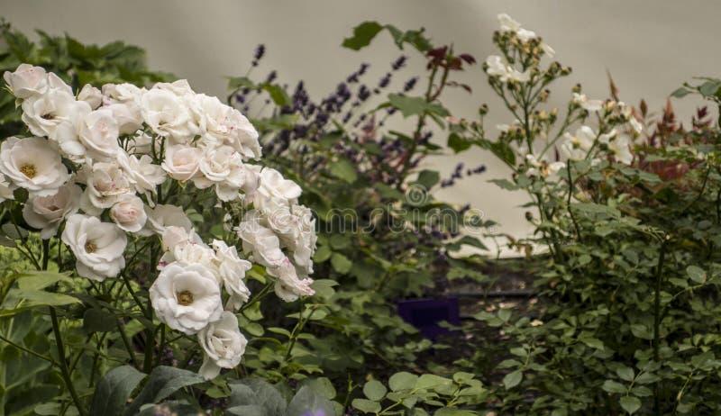 Fleurs de floraison de surrexerunt vertical de roses blanches étroites vers le haut des usines douces de bouquet pour des femmes  image stock