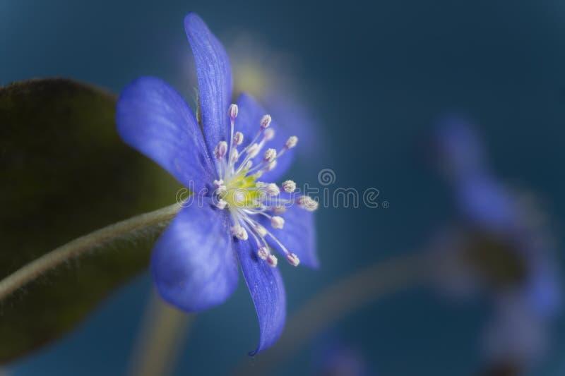 Fleurs de floraison tôt de ressort de Hepatica Nobilis images libres de droits