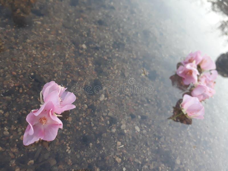 Fleurs de flottement roses image stock