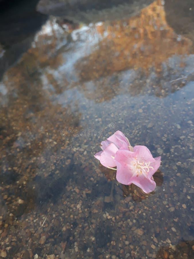Fleurs de flottement roses image libre de droits