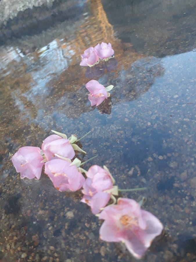 Fleurs de flottement roses photo stock