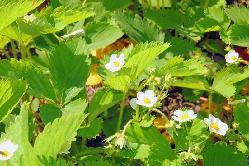 Fleurs de fraise dans le jardin photographie stock libre de droits
