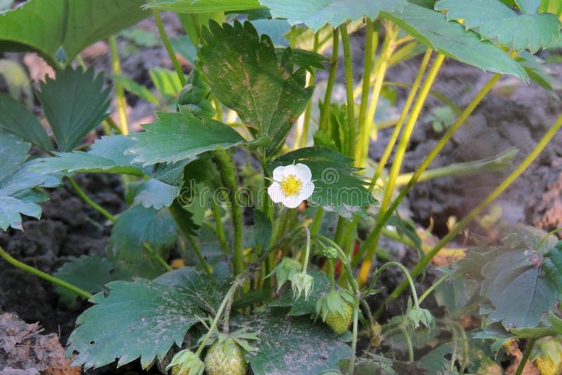 Fleurs de fraise dans le jardin images stock