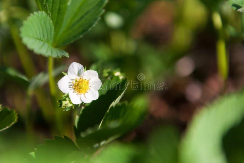 Fleurs de fraisier commun, fond de nature images stock