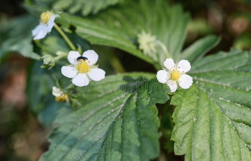 Fleurs de fraisiers communs photos libres de droits