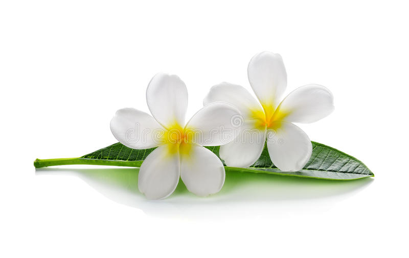 Fleurs de Frangipani avec des feuilles photographie stock libre de droits
