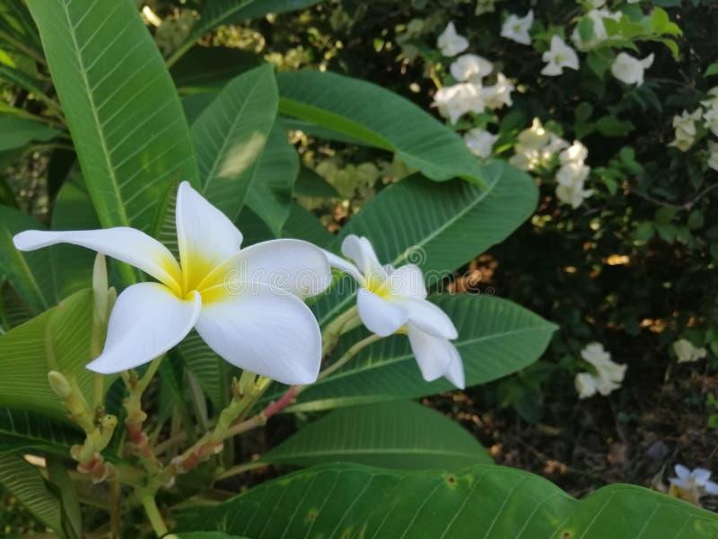 Fleurs de Frangipani avec les feuilles vertes sur l'arbre image libre de droits
