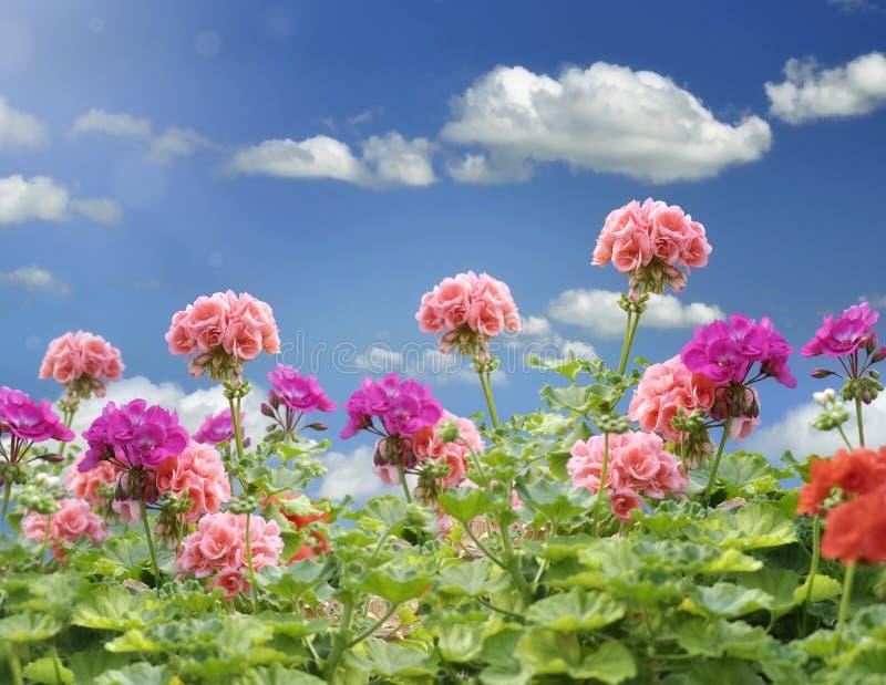 Fleurs de géranium image libre de droits