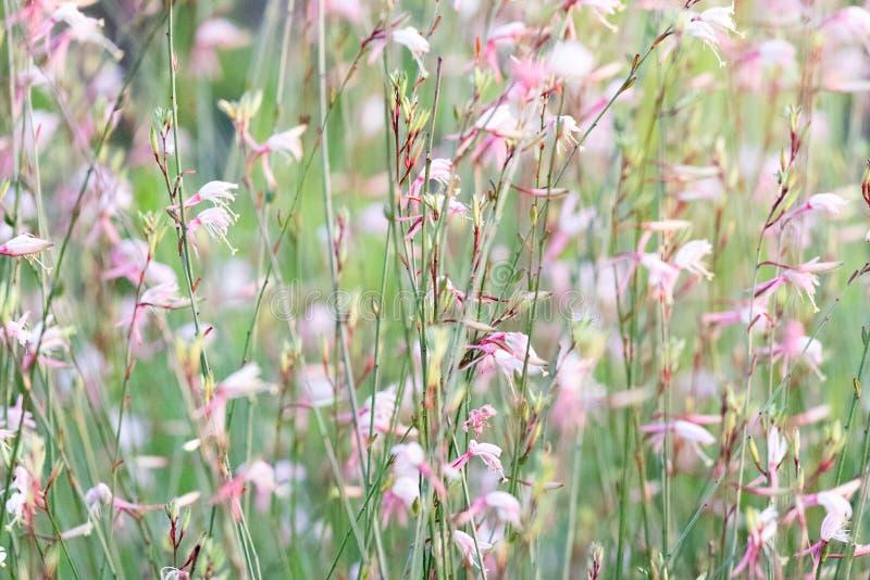 Fleurs de Gaura Belleza se déplaçant le vent photographie stock