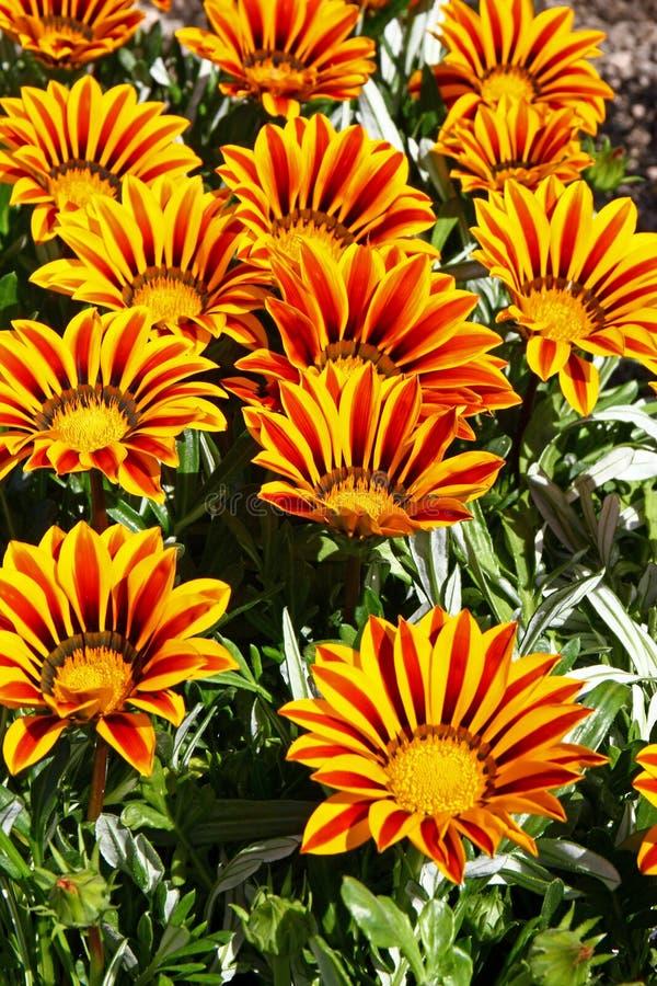 Fleurs de Gazania image stock