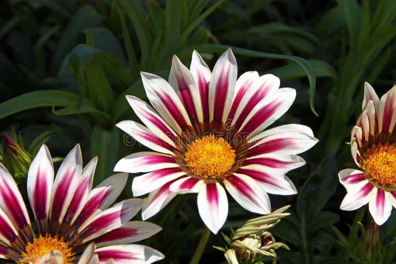 Fleurs de Gazania photographie stock libre de droits