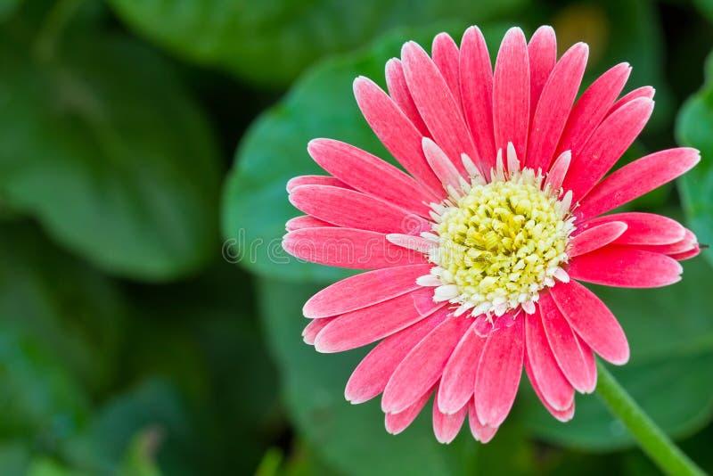 Fleurs de Gerber photos libres de droits
