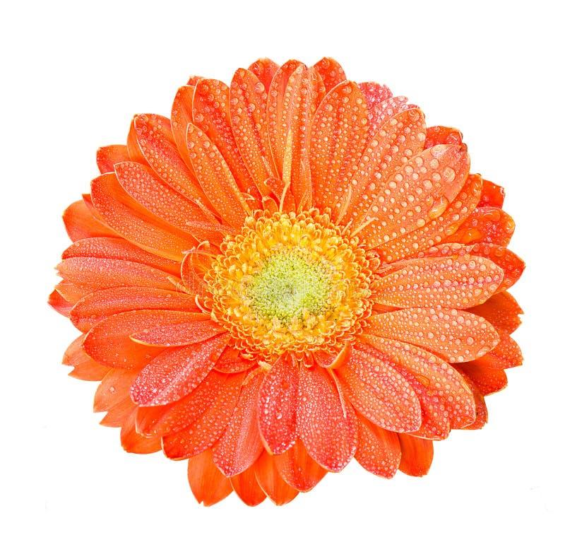 Fleurs de Gerber dans la couleur orange photographie stock libre de droits