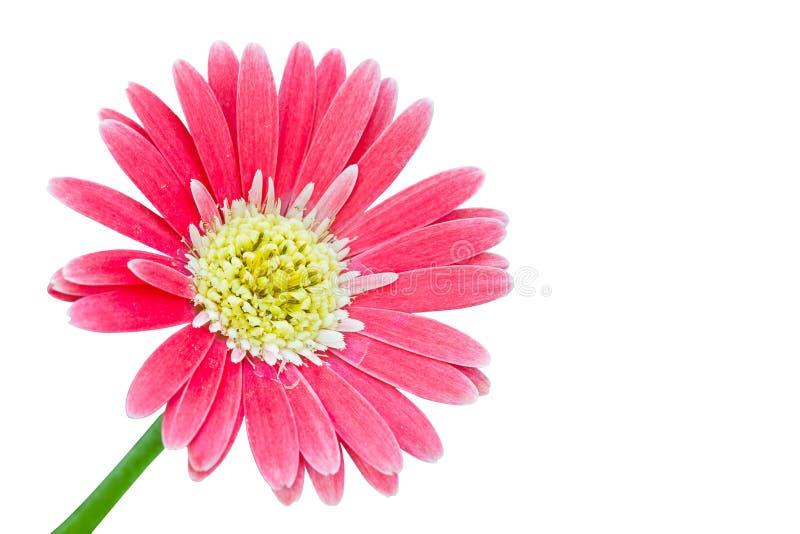 Fleurs de Gerber dans la couleur rose images libres de droits