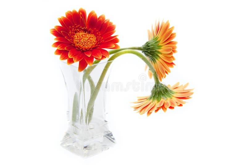 Fleurs de Gerbera dans le vase en verre d'isolement sur le blanc photographie stock