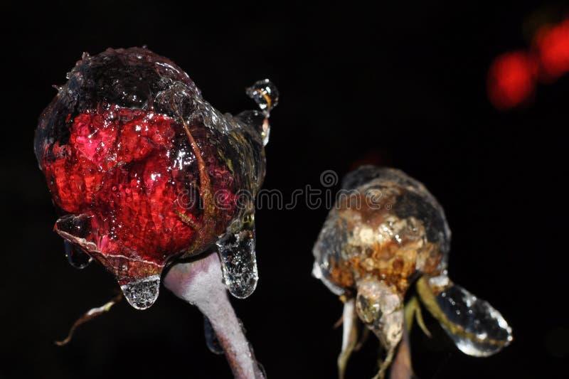 Fleurs de glace, roses congelées nuit photographie stock libre de droits