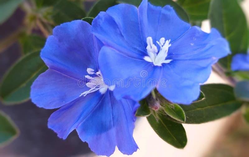 Fleurs de gloire de matin Gloire de matin au sol photographie stock libre de droits
