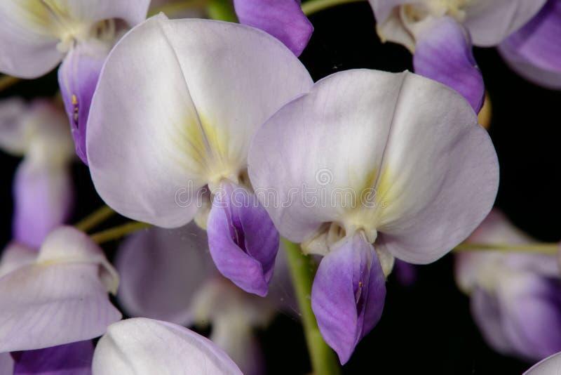 Fleurs de glycine photos libres de droits