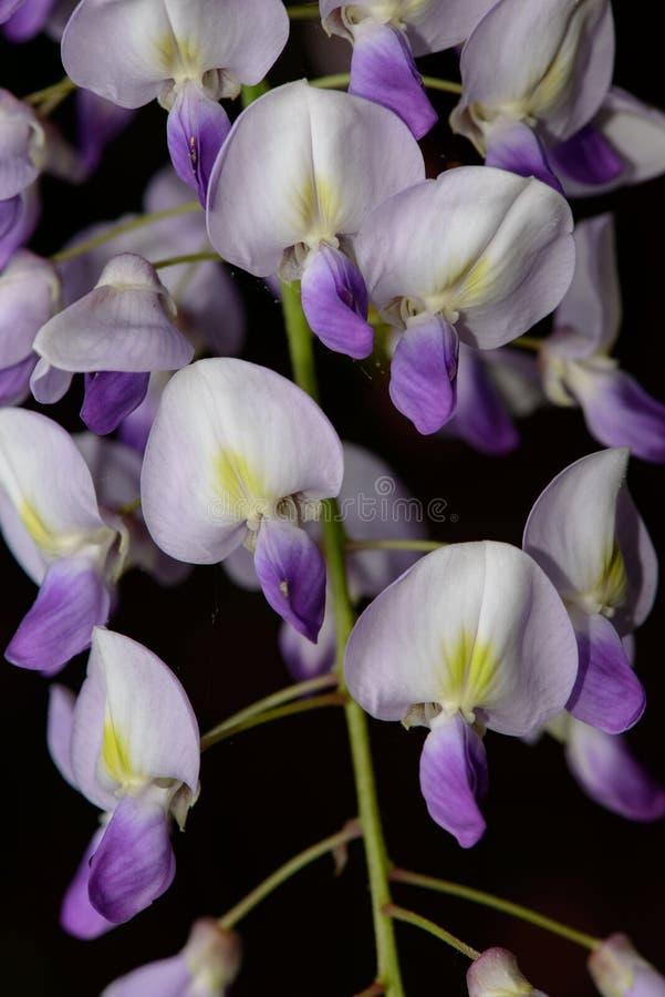 Fleurs de glycine photo libre de droits