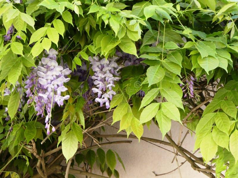 Fleurs de glycine accrochant sur un mur blanc photo libre de droits
