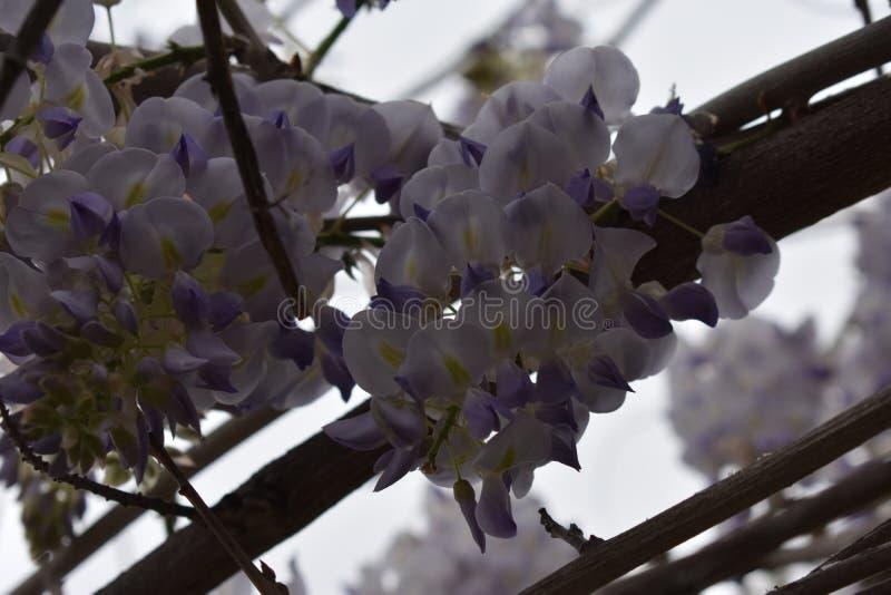 Fleurs de glycine en pleine floraison photo libre de droits