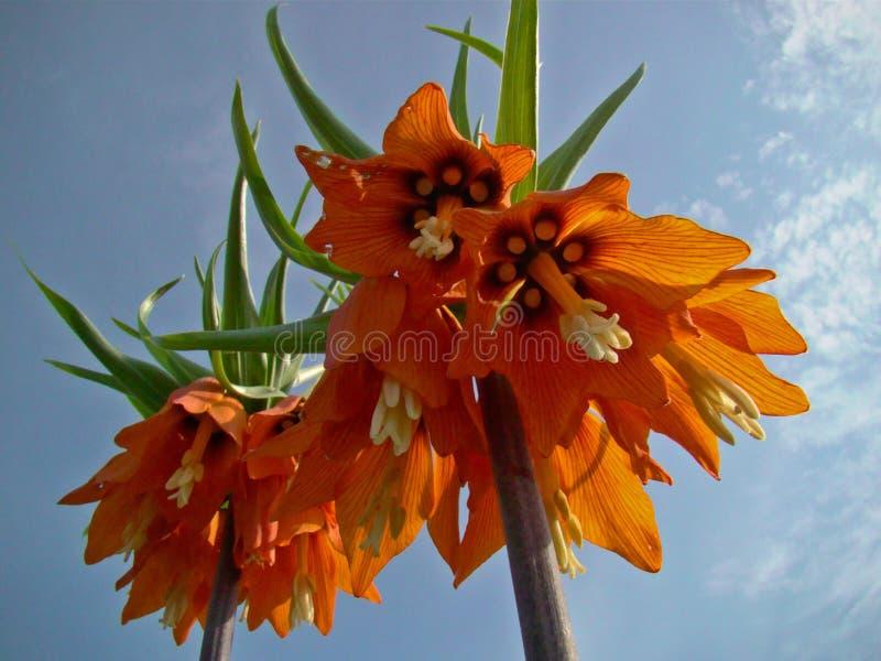 Fleurs de grouse photographie stock libre de droits