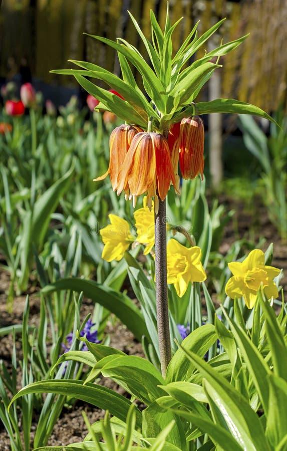 Fleurs de grouse dans le jardin photo stock