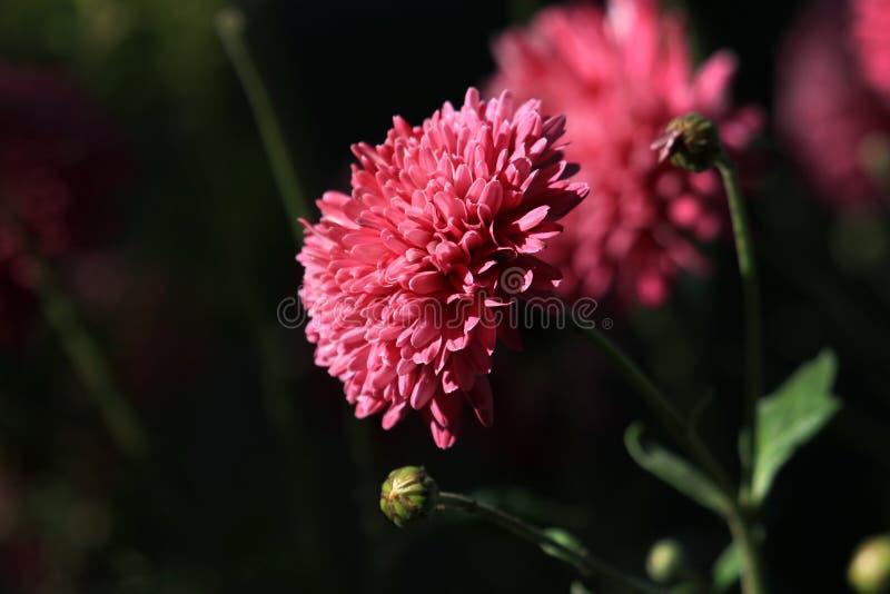 Fleurs de Guldaudi photographie stock libre de droits