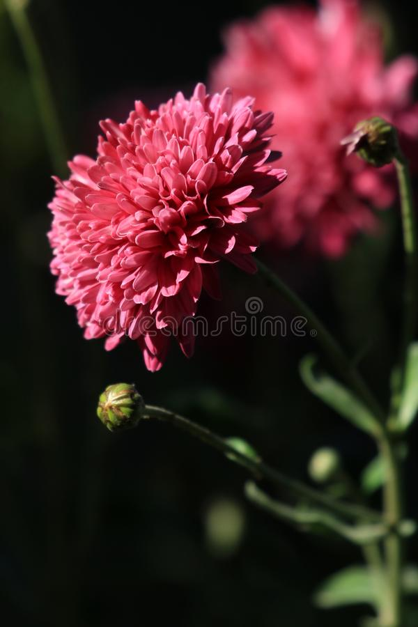 Fleurs de Guldaudi image libre de droits