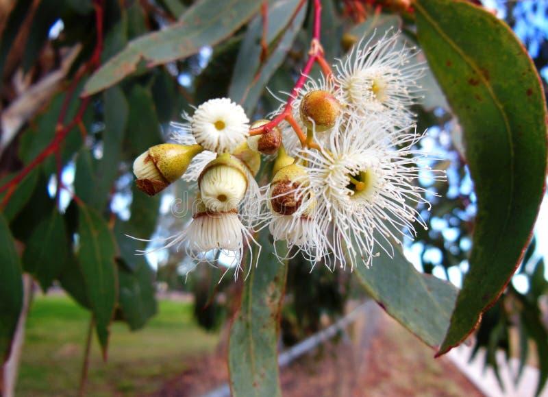 Fleurs de Gumtree photo stock