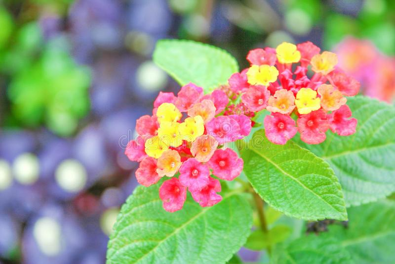 Fleurs de haie de Clorful, camara de Lantana fleurissant dans le jardin, sauge blanche de fond de nature, tissu d'or, lantana ple photographie stock libre de droits