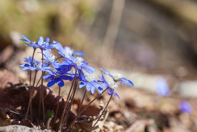 Fleurs de hepatica d'anémone photographie stock