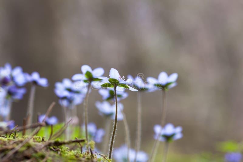 Fleurs de hepatica d'anémone image stock
