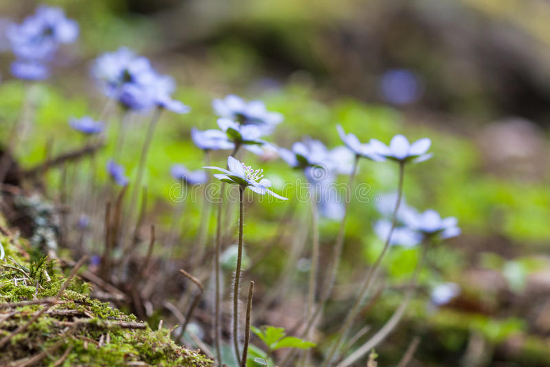 Fleurs de hepatica d'anémone images stock