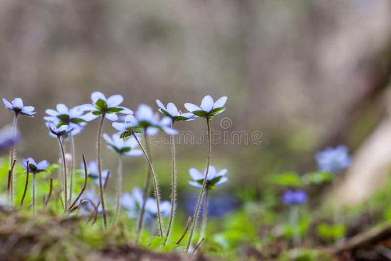 Fleurs de hepatica d'anémone photo libre de droits