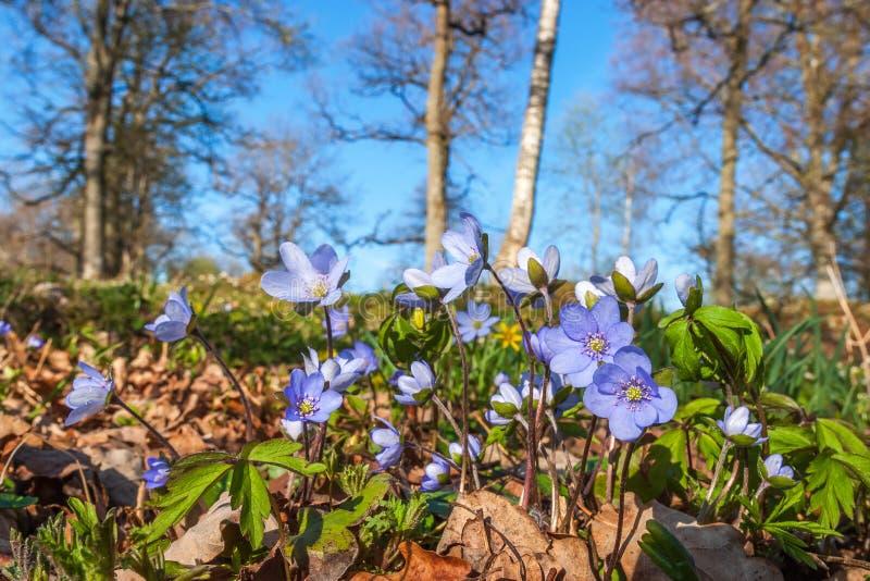 Fleurs de hepatica d'anémone photos libres de droits