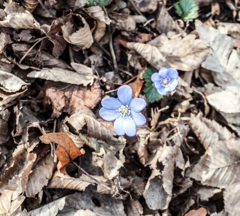 Fleurs de hepatica d'anémone avec les feuilles tombées en montagnes de Palava photo libre de droits