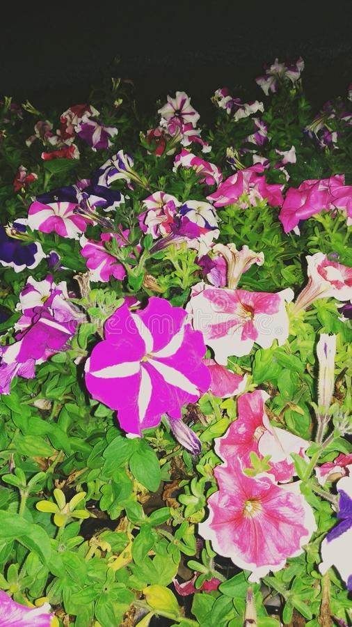 Fleurs de hybrida de pétunia photographie stock