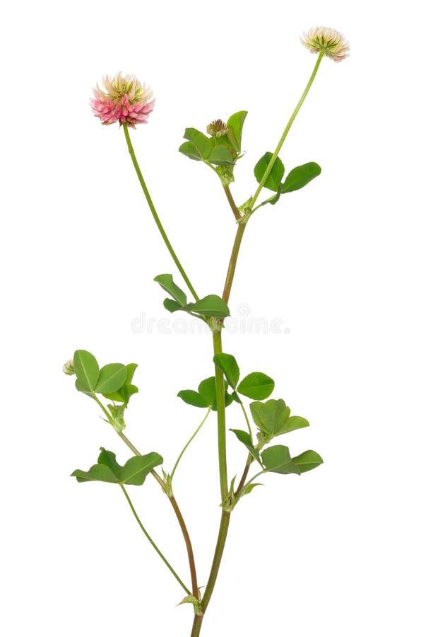 Fleurs de hybridum de trifolium photo stock