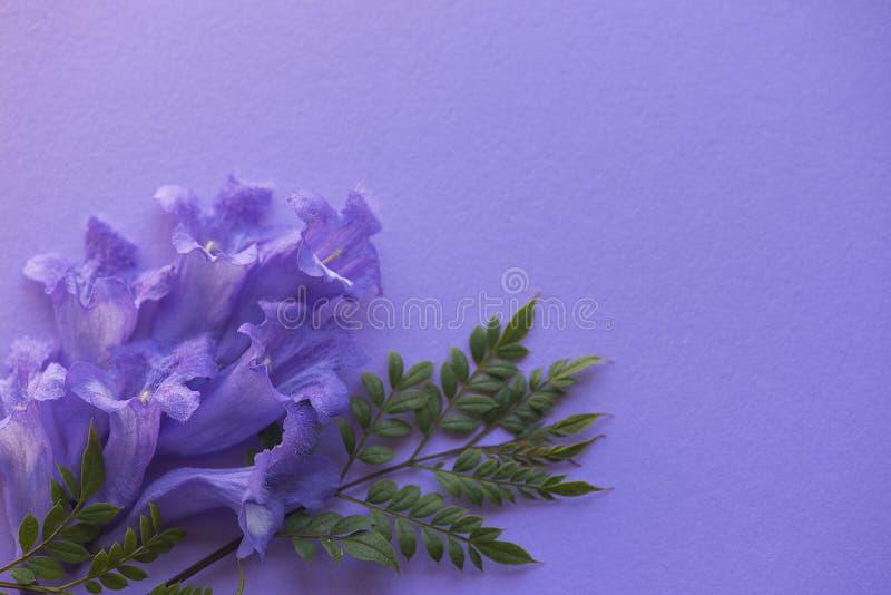 Fleurs de Jacaranda sur le fond pourpre photographie stock libre de droits