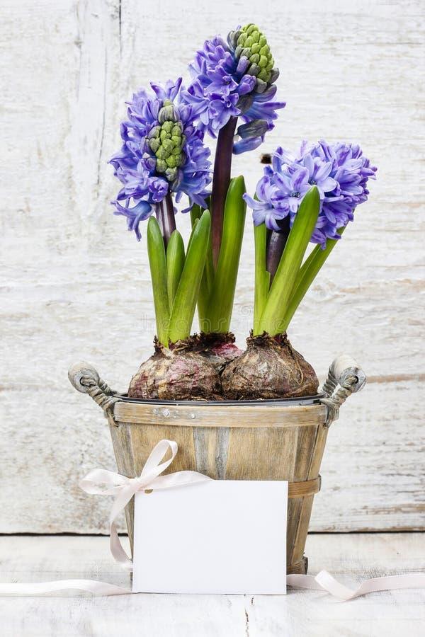 Fleurs de jacinthe dans le pot en bois photographie stock libre de droits
