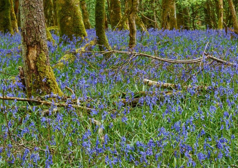 Fleurs de jacinthe des bois photo stock