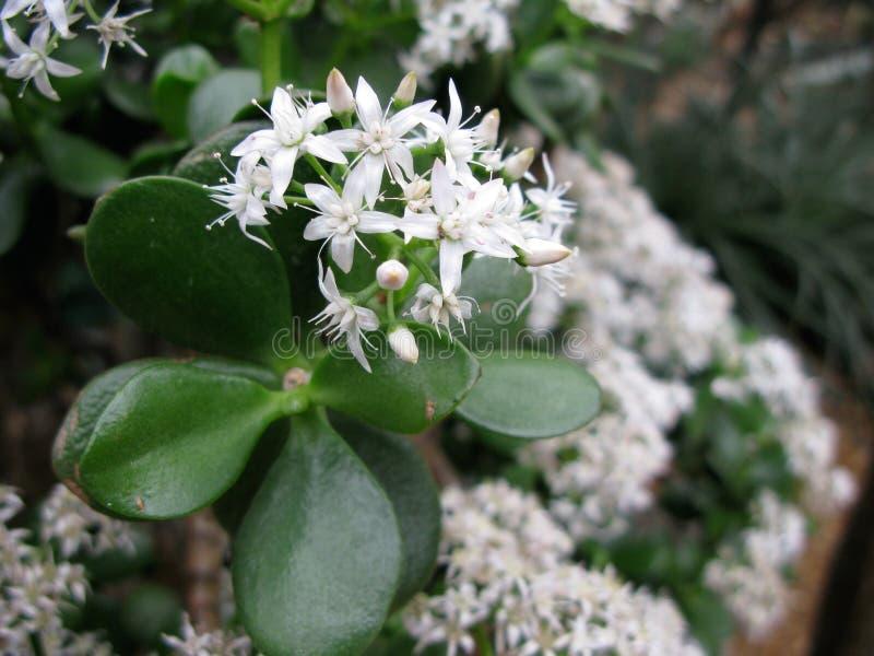 Fleurs de Jade Plant dans le conservatoire image libre de droits