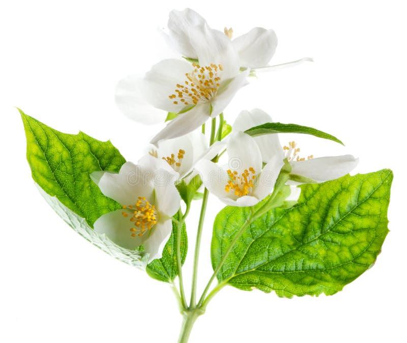 Fleurs de jasmin. images stock