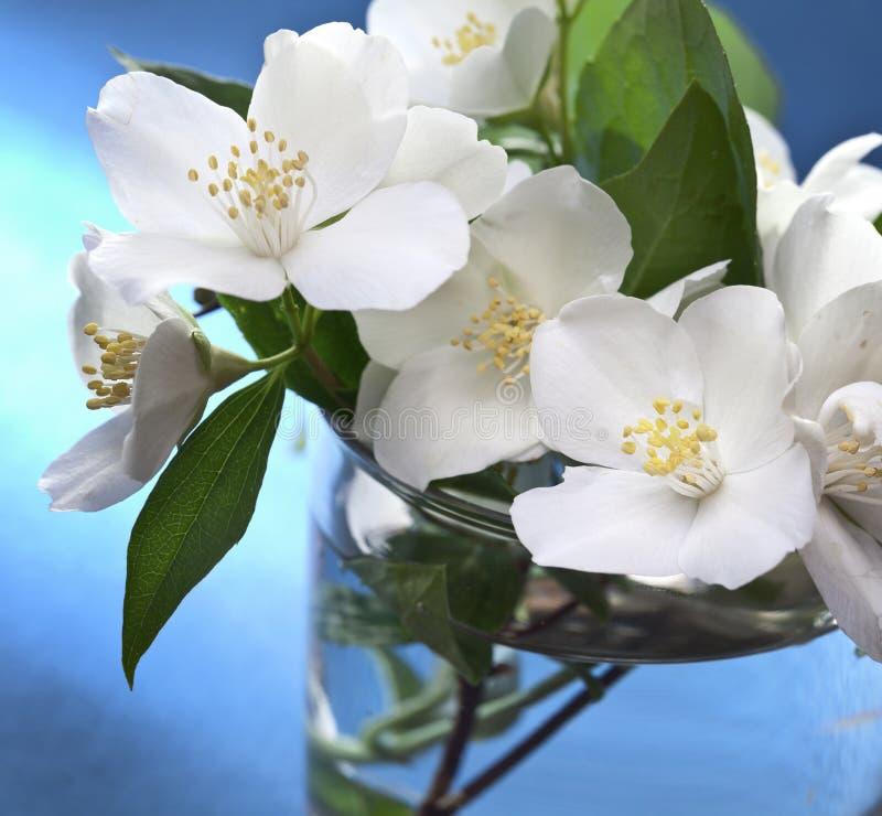 Fleurs de jasmin au-dessus de fond bleu images stock