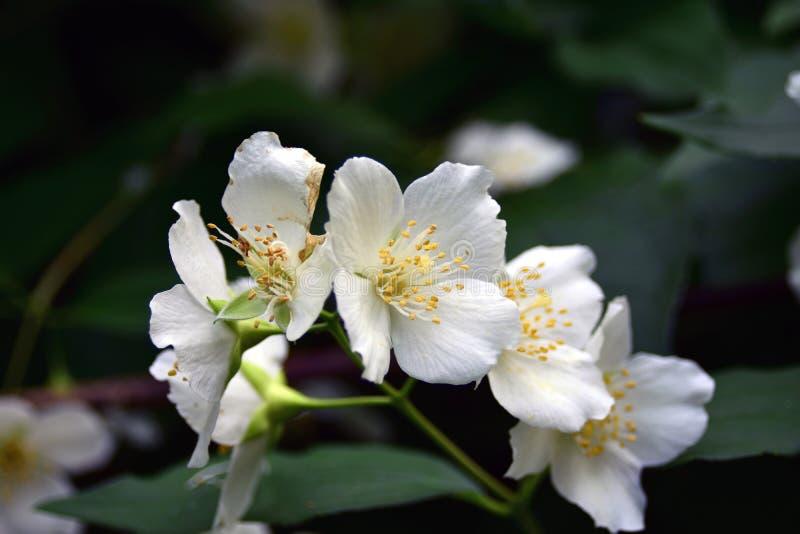 Fleurs de jasmin Beauté sensible Photo d'été de couleur photos libres de droits