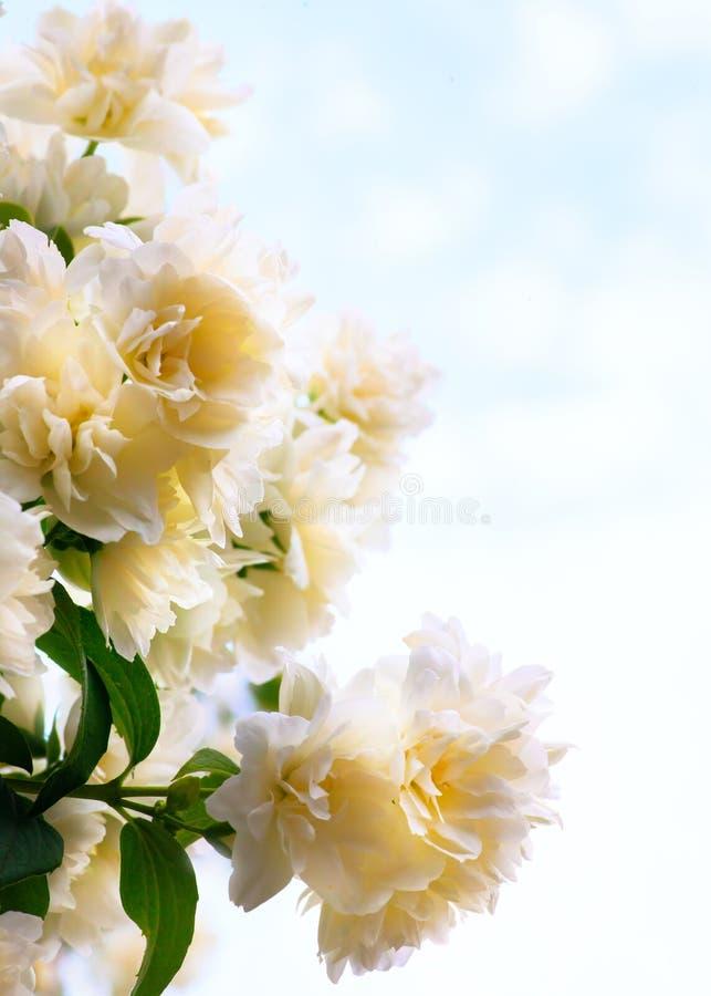 Fleurs de jasmin d'art sur le fond de ciel bleu images stock