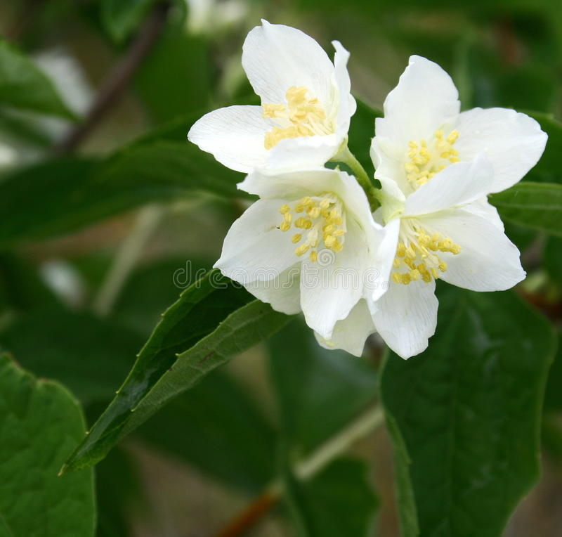 Fleurs de jasmin en fleur images libres de droits